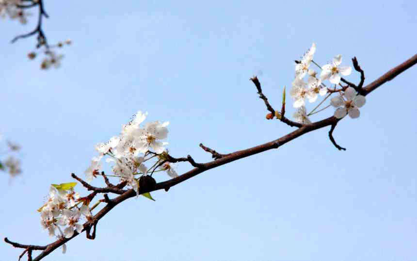 Blossoms white twig 4 low res
