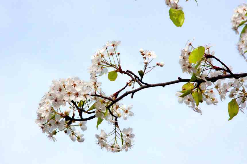 Blossoms white twig 5 low res