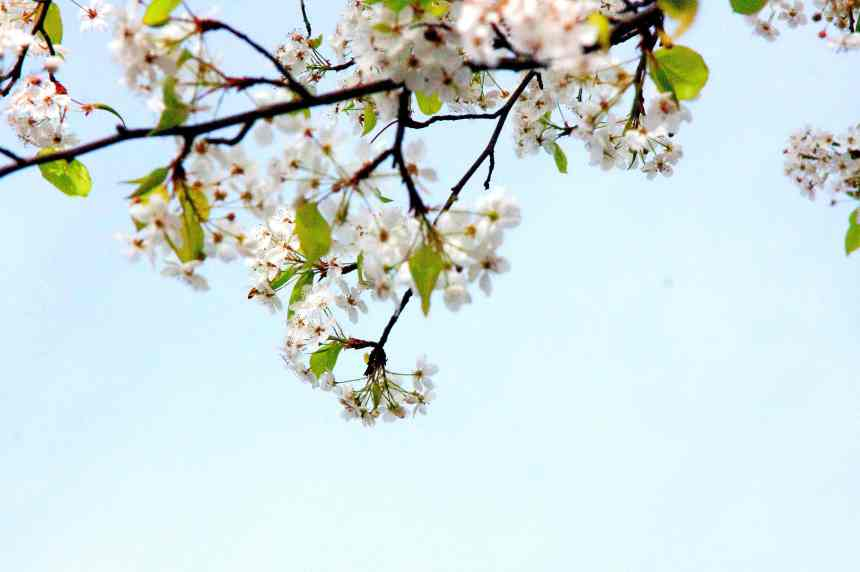 Blossoms white twig low res