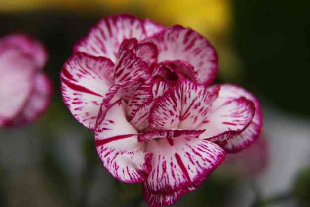 Carnation variegated 1 low res