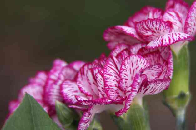 Carnation variegated 4  low res
