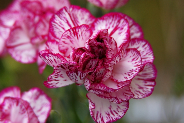 Carnation variegated 5 low res