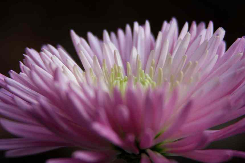 Chrysanthemum pale pink 2 low res