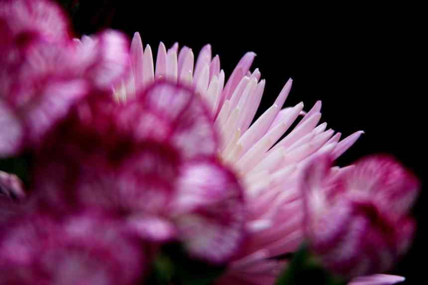 Chrysanthemum pale pink 3 low res