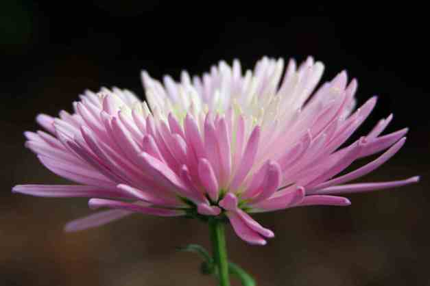 Chrysanthemum pale pink low res