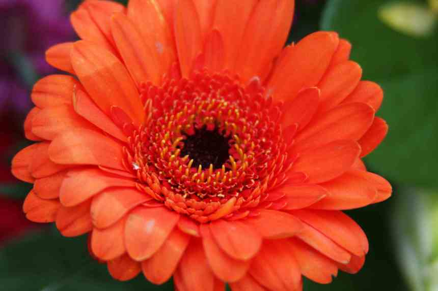 Gerbera Orange Single 2 low res