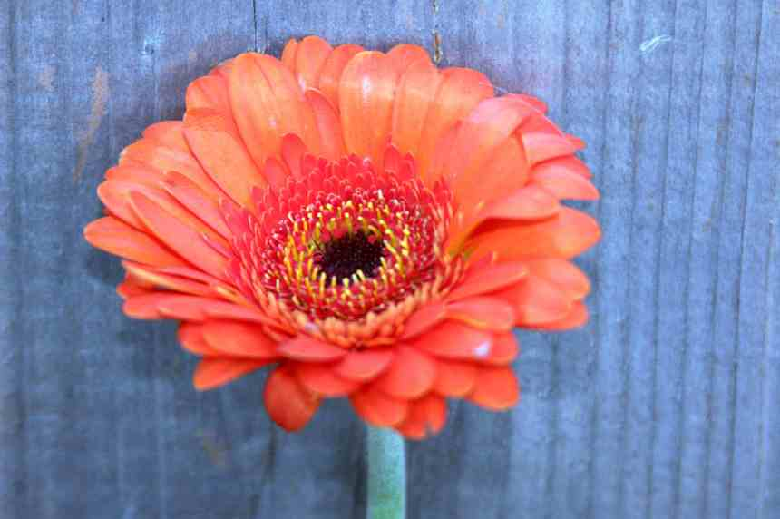 Gerbera Orange Single 31