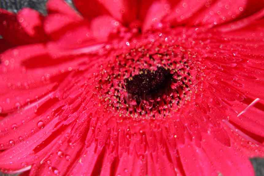 Gerberas pink face low res
