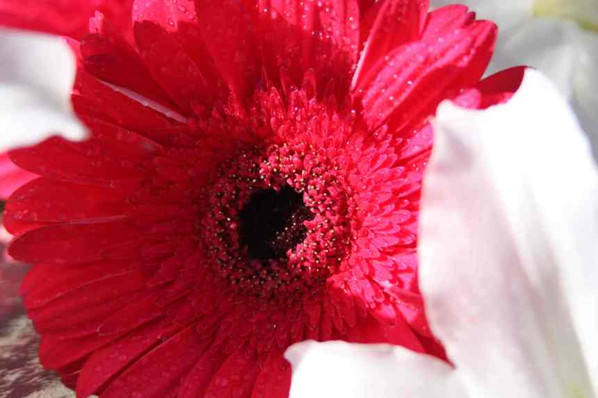 Gerberas pink light and shadow low res