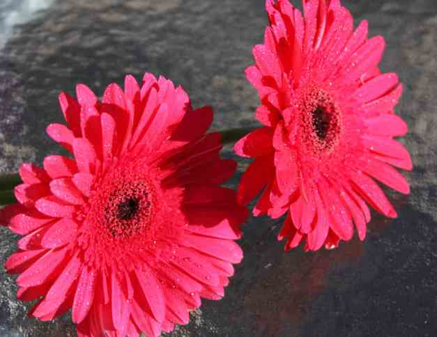 Gerberas pink two low res