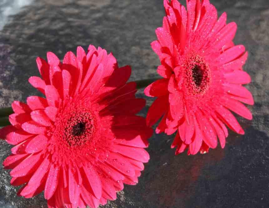 Gerberas pink two low res