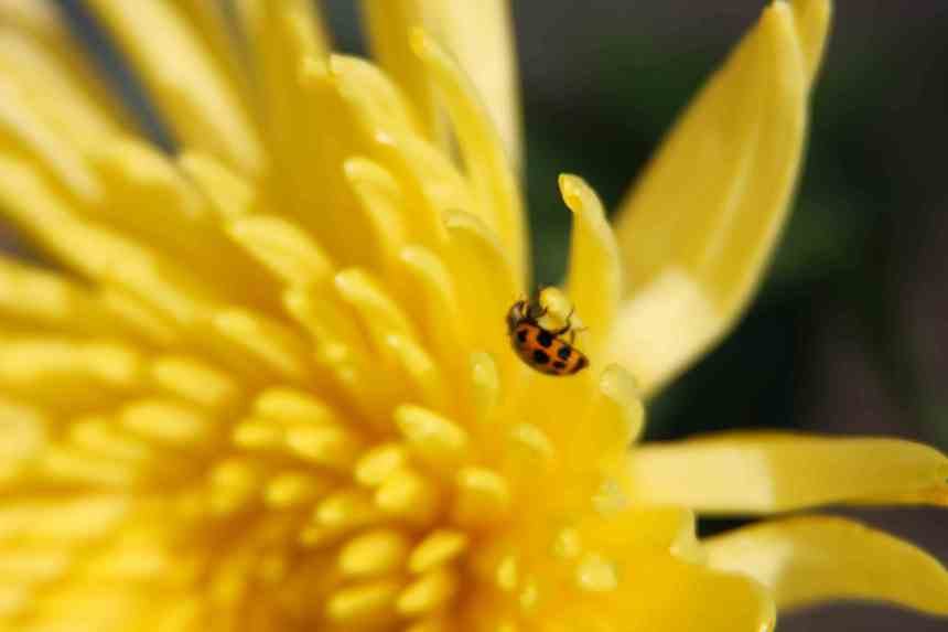 Ladybird on yellow Chrysanthemum 2 low res