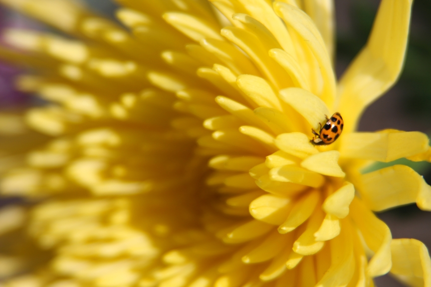 Ladybird on yellow Chrysanthemum 3