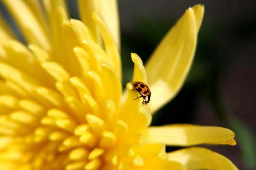 Ladybird on yellow Chrysanthemum  low res