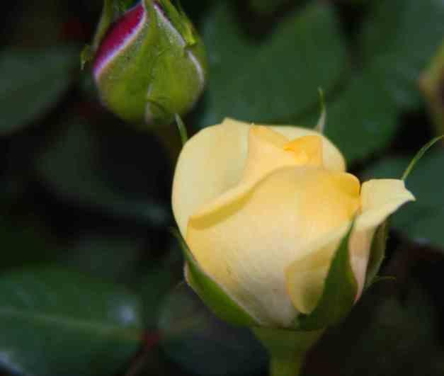 Rosebud yellow 1 low res