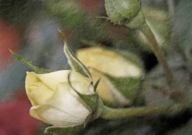 Rosebud yellow low res