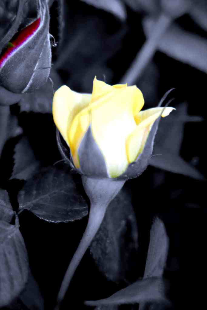 Rosebud yellow on bw low res