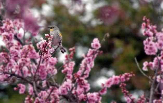 Bird in cherry tree low res