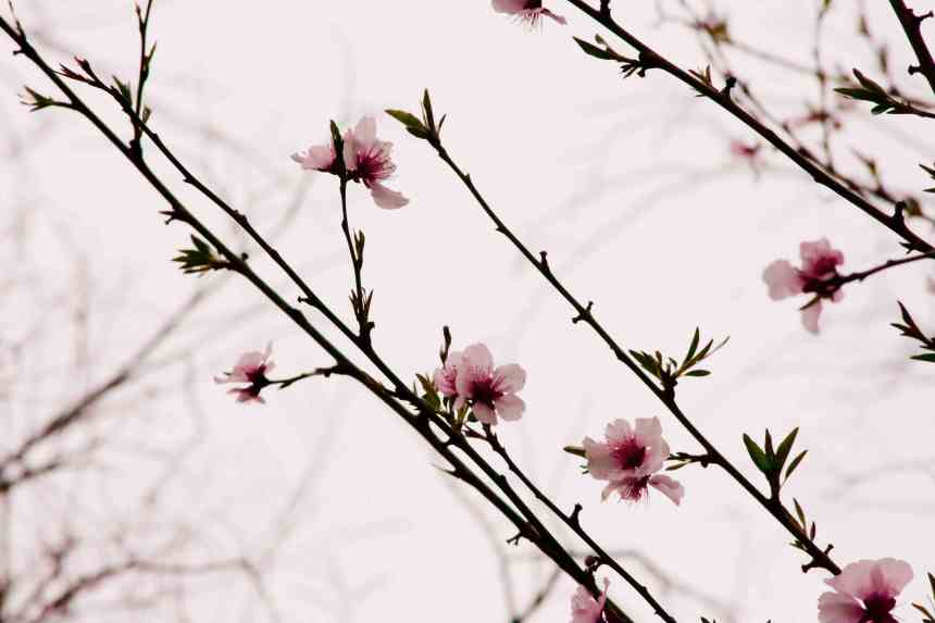 Blossoms pink sprig low res