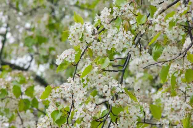 Blossoms white tree low res