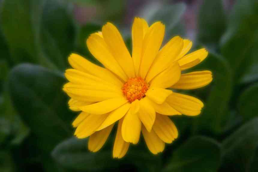 Calendula yellow low res
