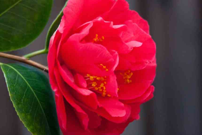 Camelia red 2 low res