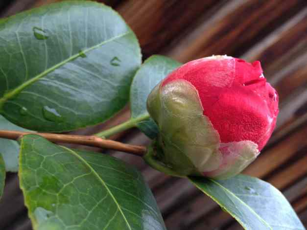 Camellia Red bud low res