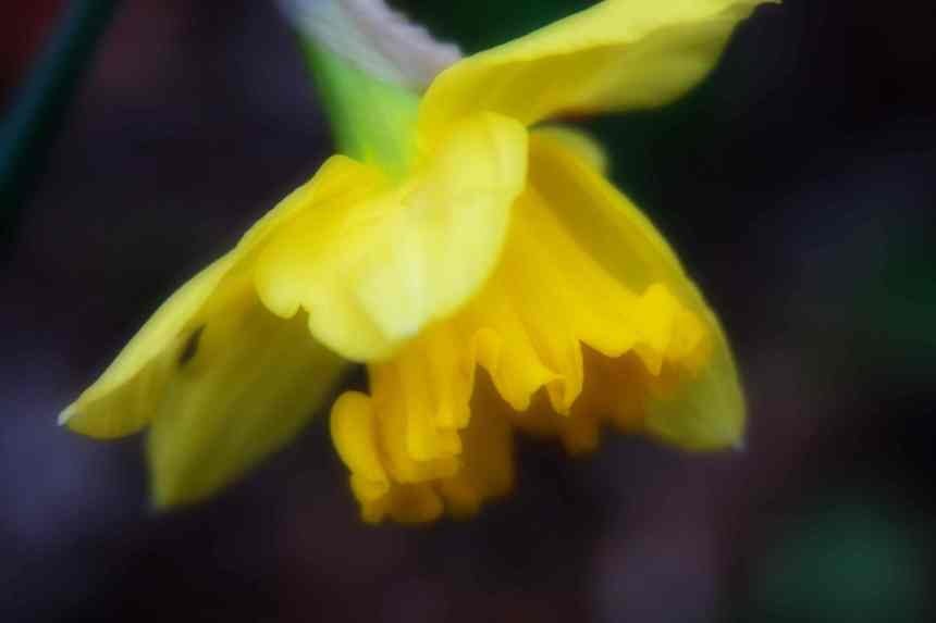 Daffodil dream low res