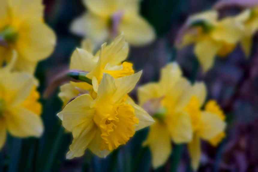 Daffodils garden low res