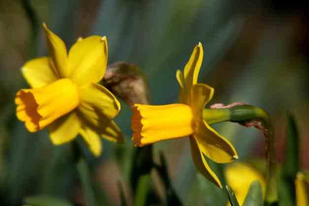 Daffodils mini 1 low res