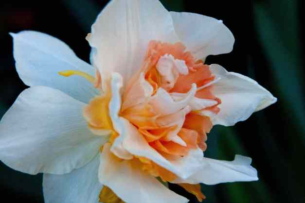 Frilly daffodil 2 low res