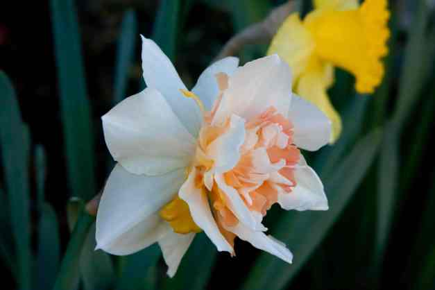 Frilly daffodil 4 low res