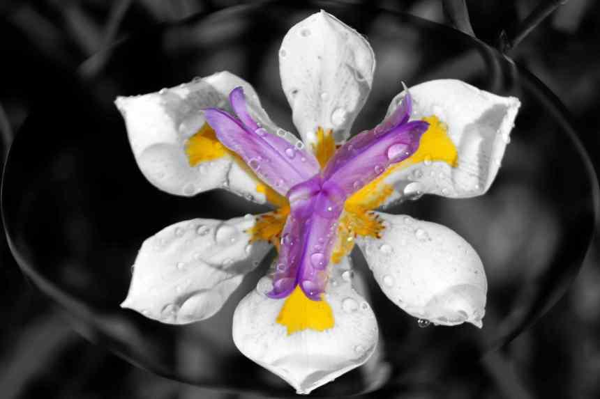 Iris after rain 4  low res