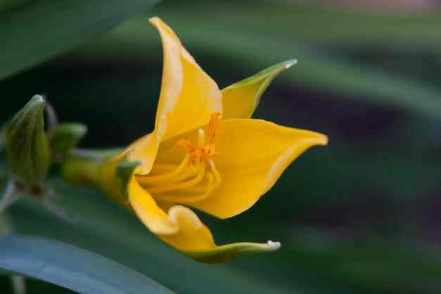 Lily yellow low res