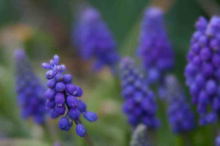 Muscari blue 2 low res