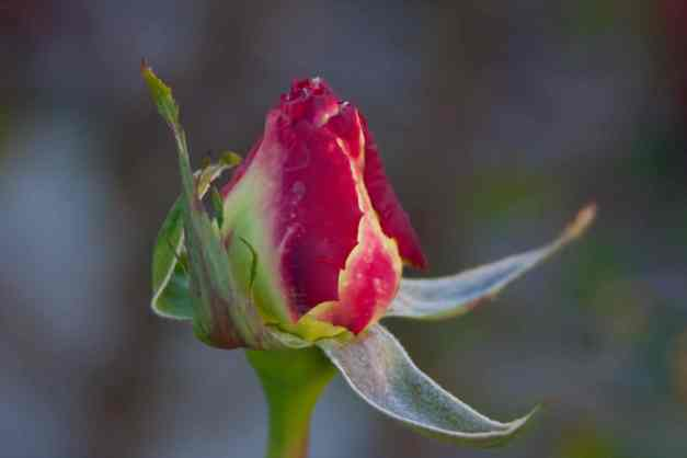 Rose variegated bud low res