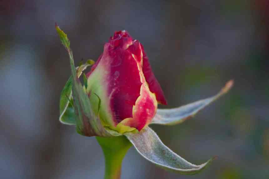 Rose variegated bud low res
