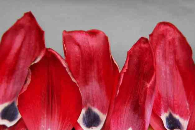Tulip petal art 2 low res