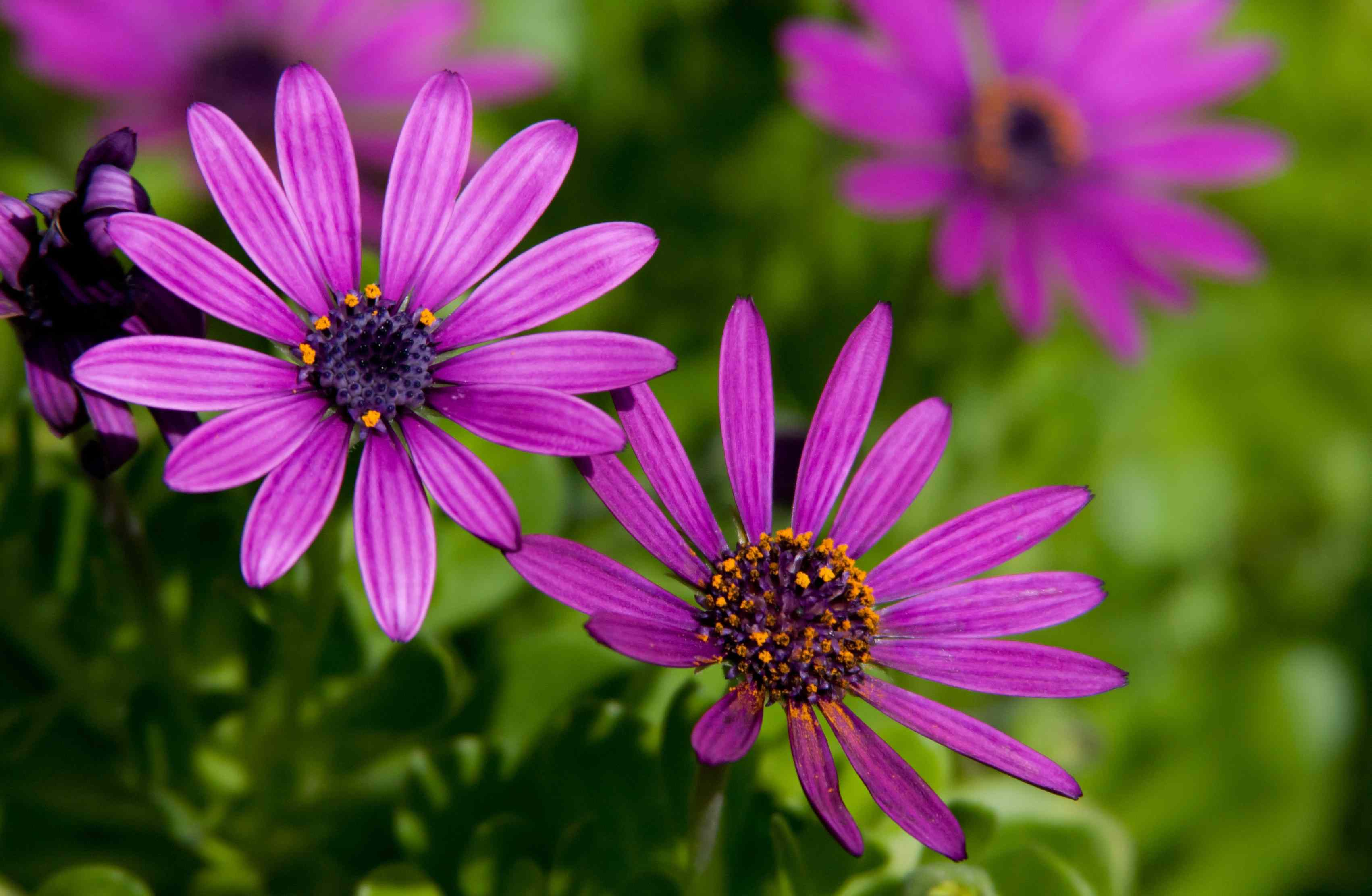 African Daisy | Fables and Flora