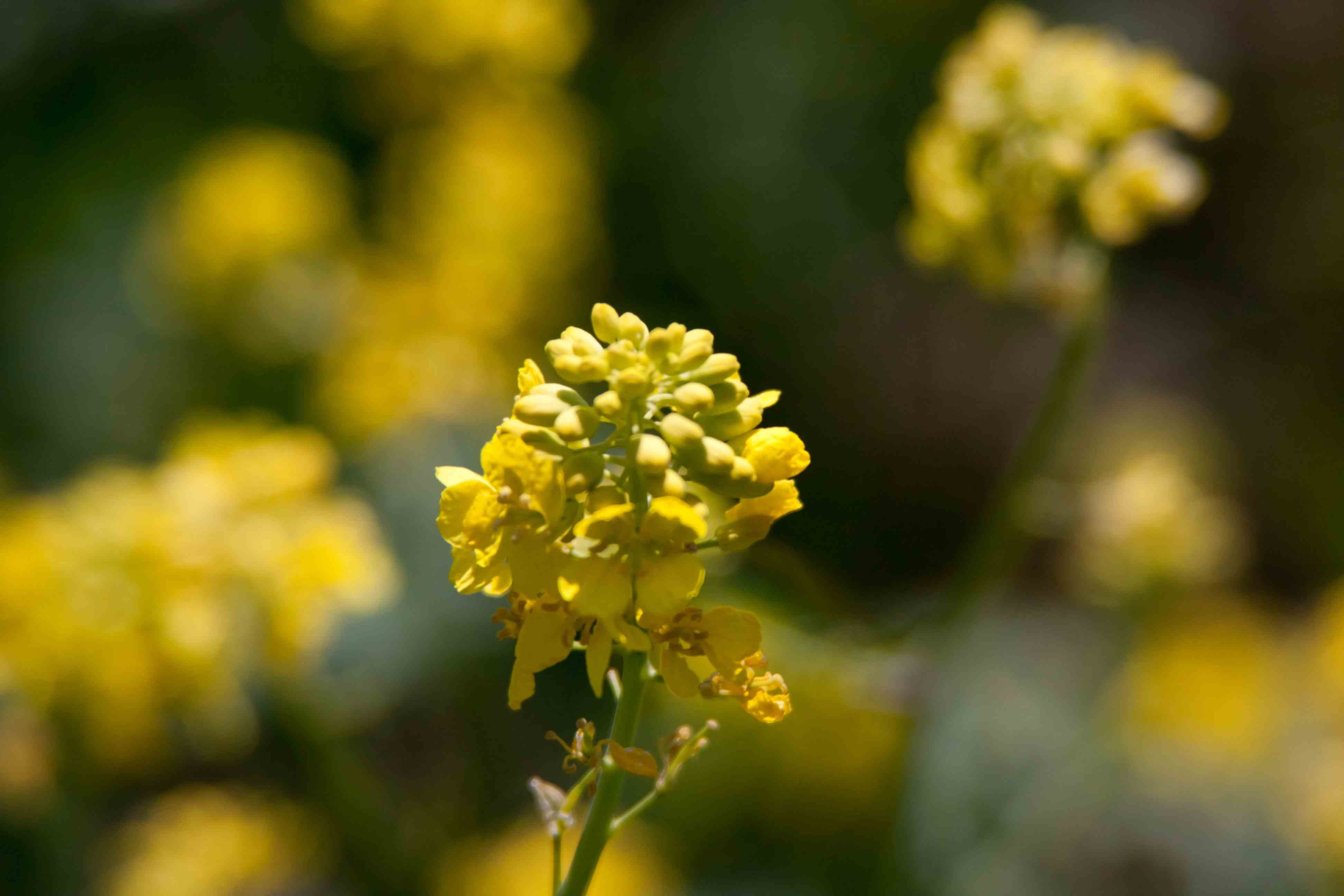 Brassica Nigra Black Mustard  Fables And Flora-4017