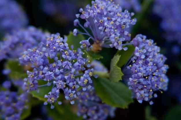 California lilacs 2 low res