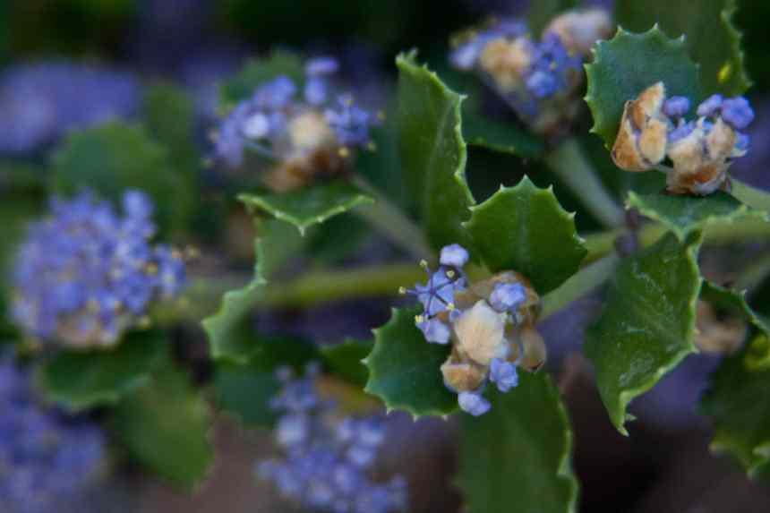 California lilacs 4 low res