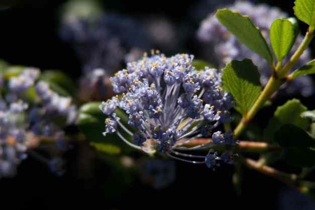 California lilacs 5 low res