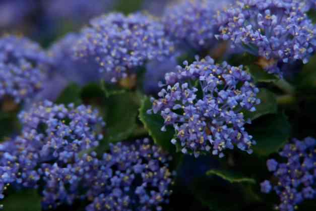 California lilacs low res