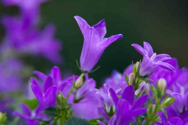Campanula Get Mee Toxic To Cats