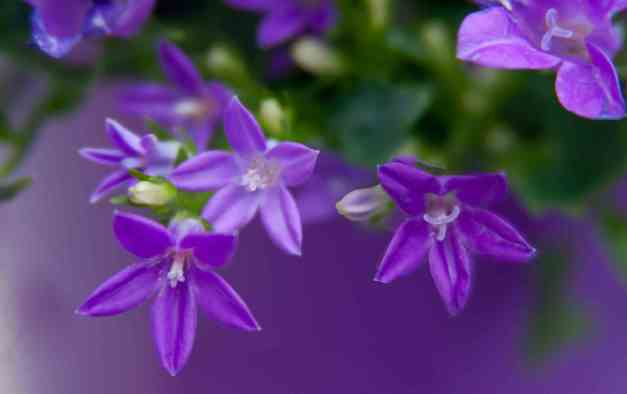 Campanula Get Mee 3 low res