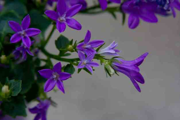 Campanula Get Mee 4 low res
