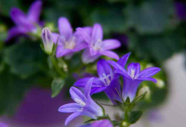 Campanula Get Mee 7 low res