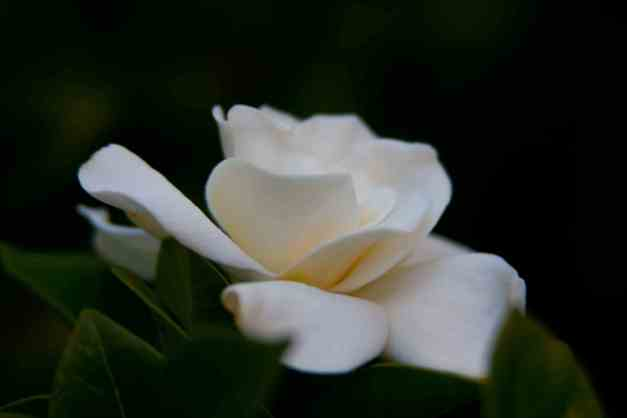 Gardenia 2 low res