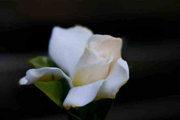 Gardenia bloom low res1